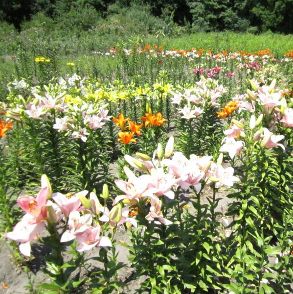 На лето Смесь детки лилий азиатские, ЛА-гибриды, тигровые  набор 250 г
