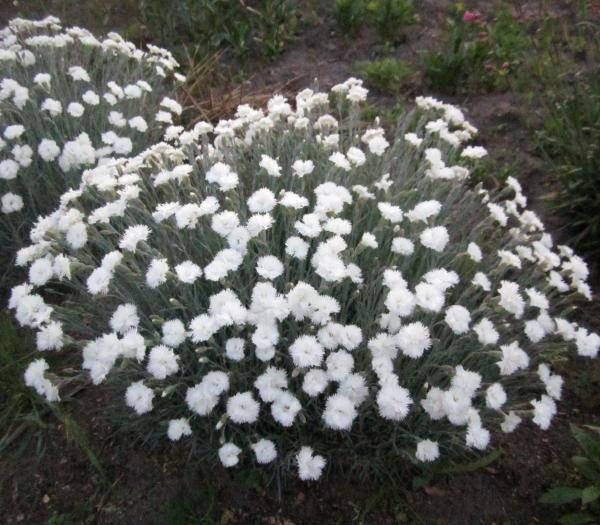 Гвоздика альпийская белая махровая