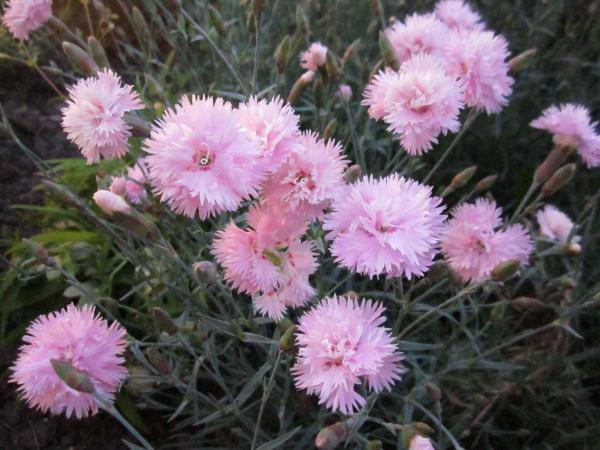 Гвоздика многолетняя розовая махровая