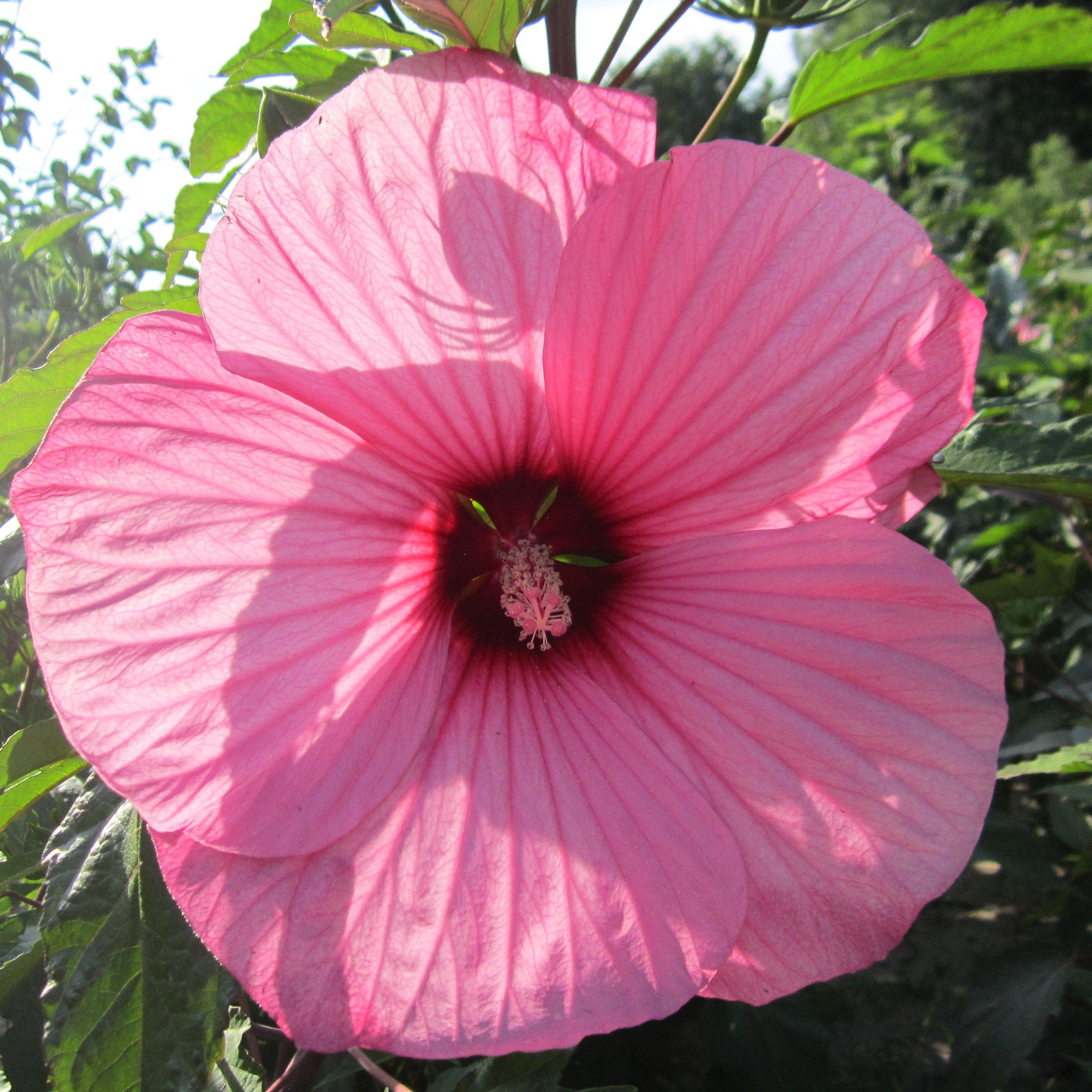 Гибискус розовый