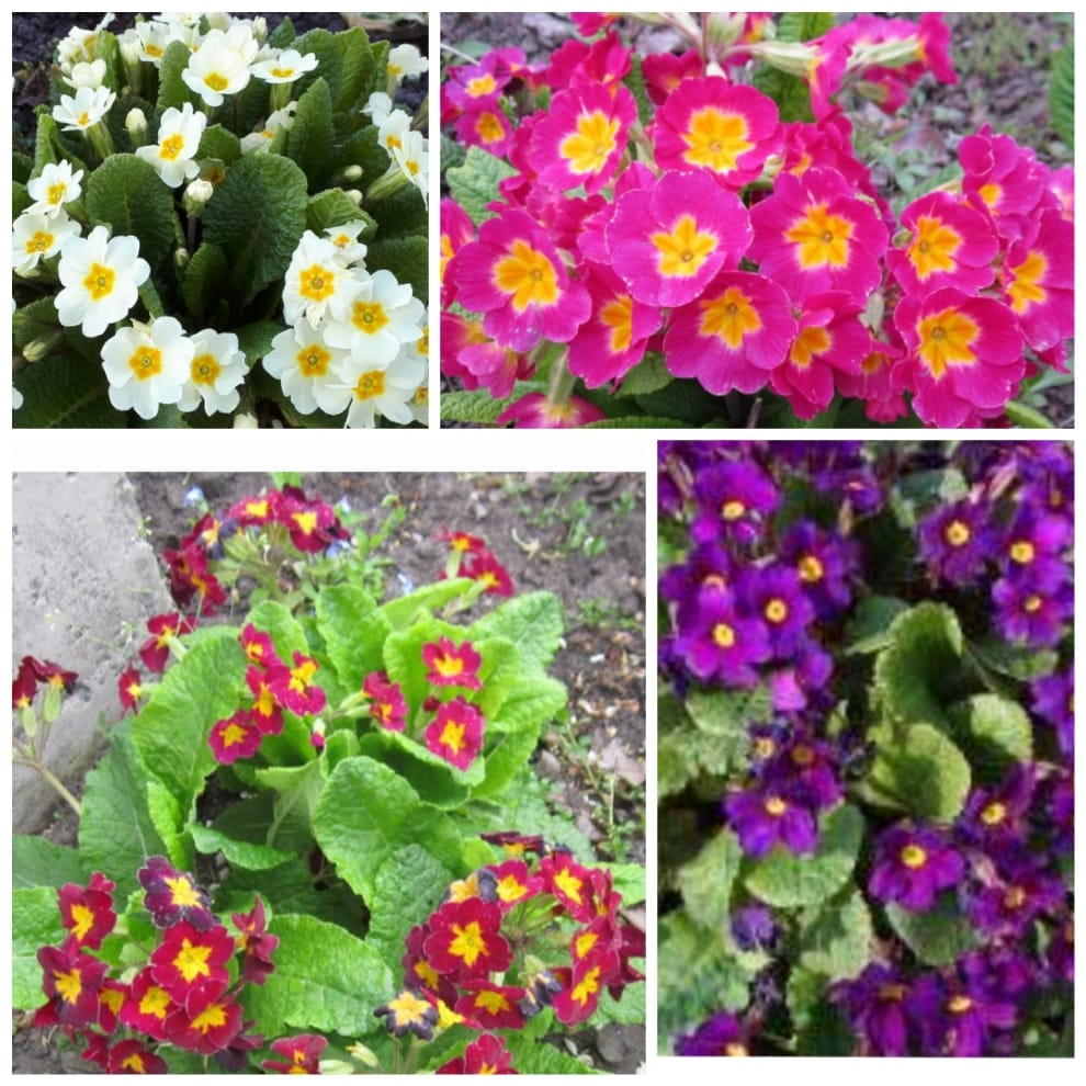 Примулы садовые многолетние