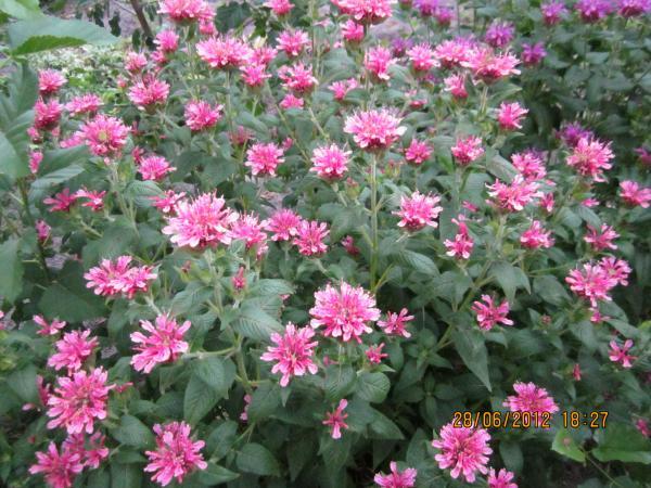 Монарда  (рута, бергамот) розовая