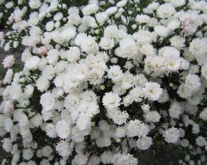 Астра многолетняя (морозец) белая махровая